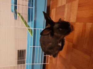 Black Rabbit and cage