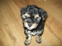 2 x female yorkie poo chon's for sale