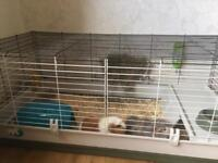 2 Female Guinea Pigs with Cage, Food & Accessories