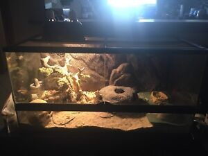 Baby Bearded Dragon +/-  Set Up