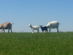 Dairy Goats. Does, bucks and kidds