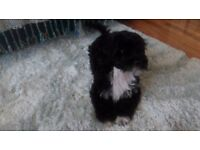 Tibetan/Havanese puppies-only one boy left
