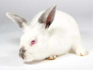 "Young Male Rabbit - Californian: ""Loki"""