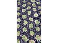 Sempervivum plants.