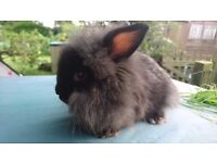 One girl black lionlop baby bunny