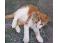 Male ginger kitten