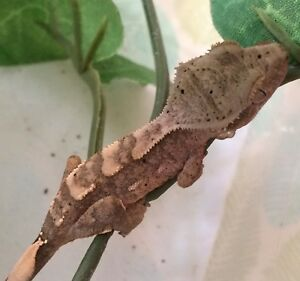 Baby crested gecko
