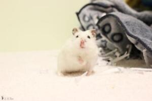 "Adult Male Small & Furry - Hamster: ""Boule de neige"""