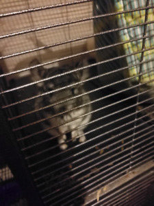 Selling my two 4 months chinchilla baby
