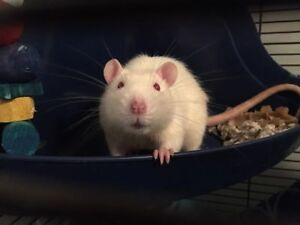 Male Rat To Good Home
