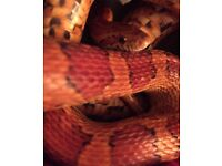 Friendly corn snake looking for a loving home.
