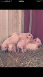 Miniature potbelly piglets