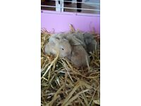 Mini lop baby bunnies for sale