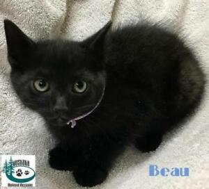 """Baby Male Cat - Domestic Short Hair: """"Beau - Handsome Boy!"""""""