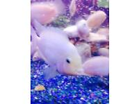 White Tropical Fishes for Sale