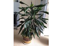 """Large potted yucca house plant approx 2' 8"""" tall"""