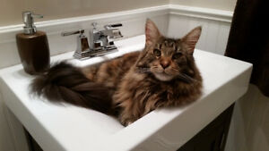 Lost Maine Coon in Miller Lake/Fall River