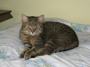 $ 400.00 Reward for Lost Brown Taby Cat named Pepper