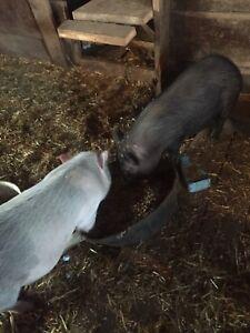 2 Female Potbelly Pigs