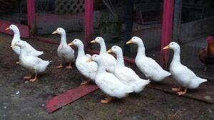 oie canard