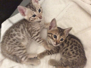 Sweet and friendly bengal kittens