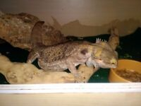 3 year old bearded dragon male