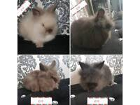 4 adorable lionhead bucks