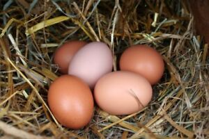 Chicken eggs  for hatching