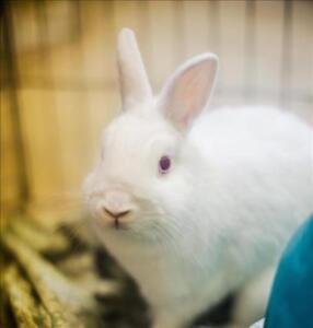 "Adult Male Rabbit - New Zealand-Dwarf: ""Casper"""