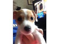 Male bichon frise x jack Russel puppy