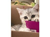 British Shorthair Pedigree Kittens