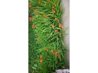 Crocosmia perennial flowering plants