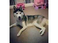 Female husky brilliant with kids/dogs