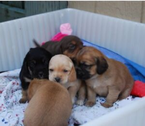 Gorgeous mixed puppies - only 2 left!