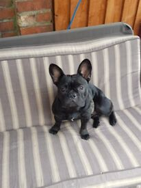 Girl french bulldog