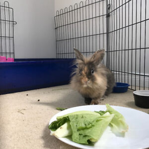 Lionhead bunny with cage
