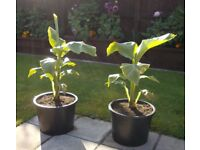Hardy Musa Banana Plants - 25L Grow Pot - £30 each - Glenrothes