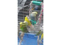 Budgies any colour