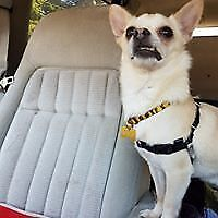 "Senior Male Dog - Chihuahua: ""Hamilton"""