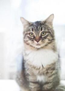 """Young Female Cat - Domestic Medium Hair (Gray & White): """"Lily"""""""