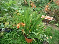 Plants for sale- A large pot of crocosmia