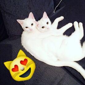 Two beautiful white cats