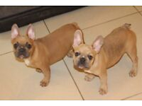 3 girls left. Stunning Lilac producing frenchie females Ay/at dd Bb kyky