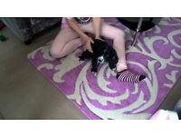 beautiful 10 week old male cocker spaniel pup