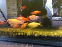 Locally Bred Goldfish