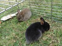 Adorable Netherlands dwarf baby rabbit looking for loving homes