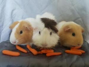 Adult Female  - Guinea Pig-Abyssinian