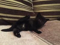 Gorgeous kitten for sale to good home.