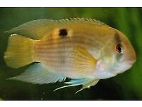 Peaceful beautiful Keyholes cichlids. Perfect in ANY community aquarium. Safe with any even smallest