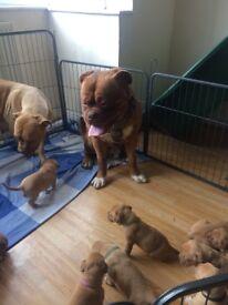 Kc registerd dog de Bordeaux puppies